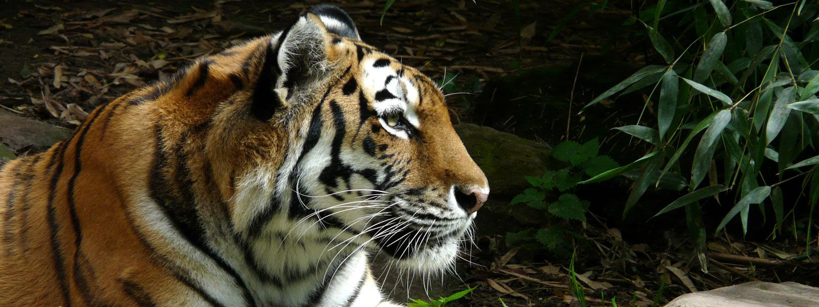 Panthera tigris jacksoni